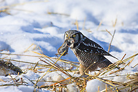 Every once in awhile the local birding community goes crazy about a special visitor to the area.  Recently reports have been coming in daily about a trio of Northern Hawk Owls living north of Cochrane.  I was was lucky enough to see two of the three birds today.<br /> <br /> ©2009, Sean Phillips<br /> http://www.Sean-Phillips.com