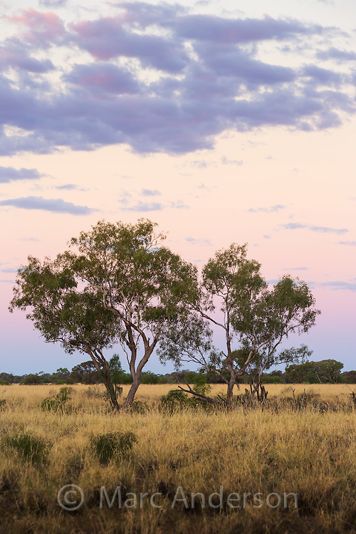 Eucayptus Trees and grassland at sunset in the Australian outback, near Longreach, Queensland