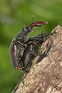 Mating Stag Beetles - Lucanus cervus