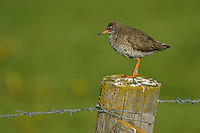The Common Redshank or simply Redshank (Tringa totanus) is an Eurasian wader in the large family Scolopacidae.