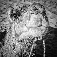 Camel trek on the fringes of the Sahara desert near Merzouga, Morocco.