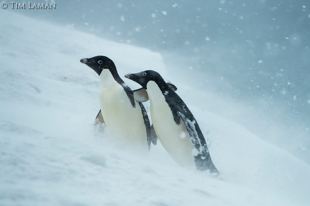 An Adelie Penguin appears to comfort a companion in a snowstorm, Joinville Island, Antarctica