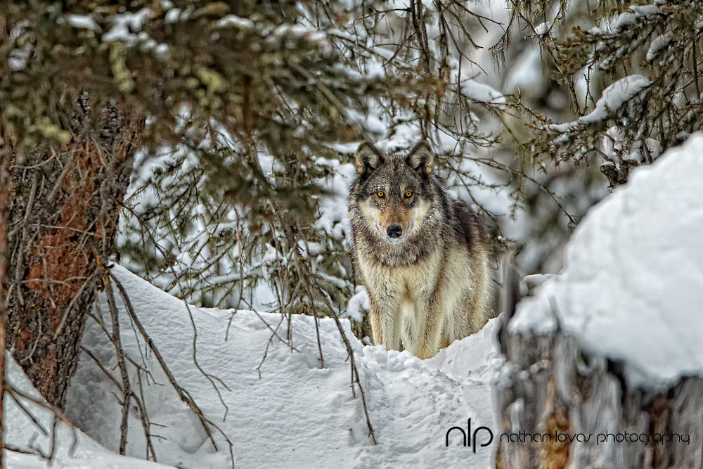 Male wolf in forest; Yellowstone NP in wild.