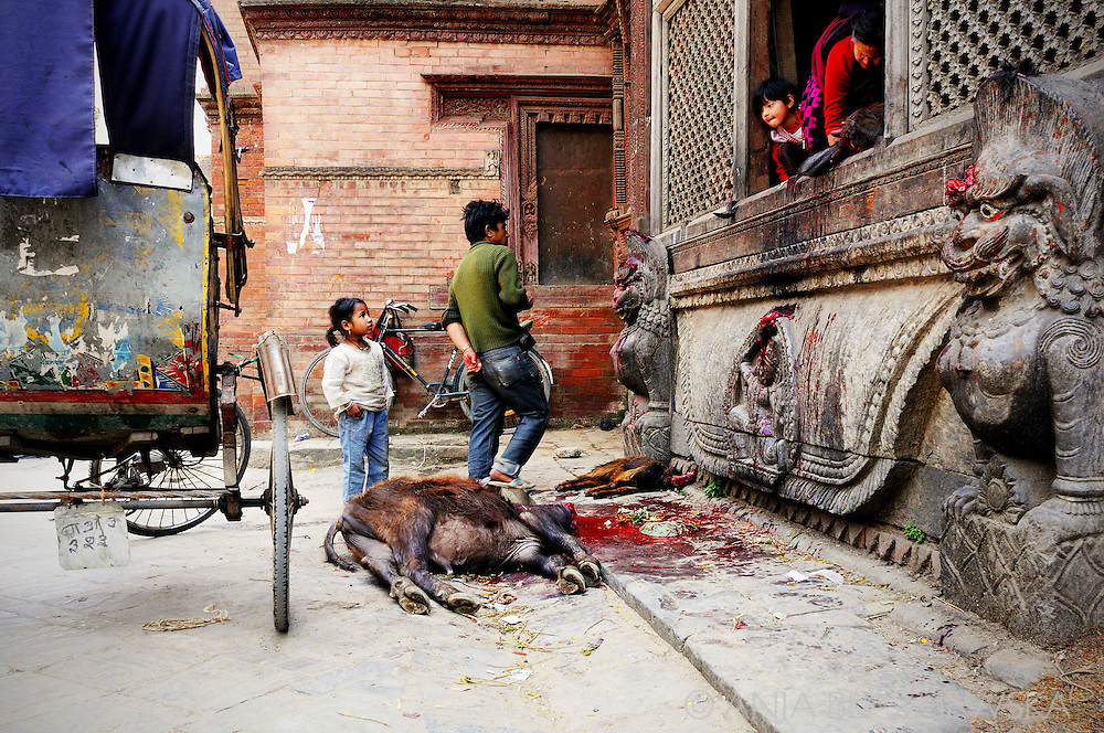 Nepal, Kathmandu. Nepalese family sacrificing a buffalo during a hindu Dasain.