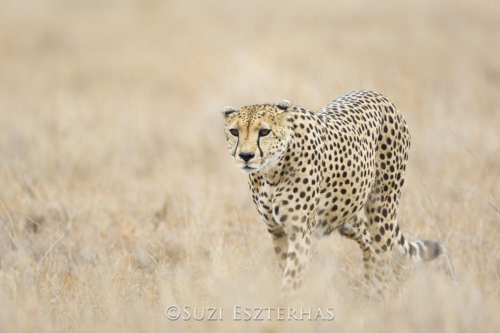 Cheetah<br /> Acinonyx jubatus<br /> Adult male (s)<br /> Lewa Conservancy, Kenya