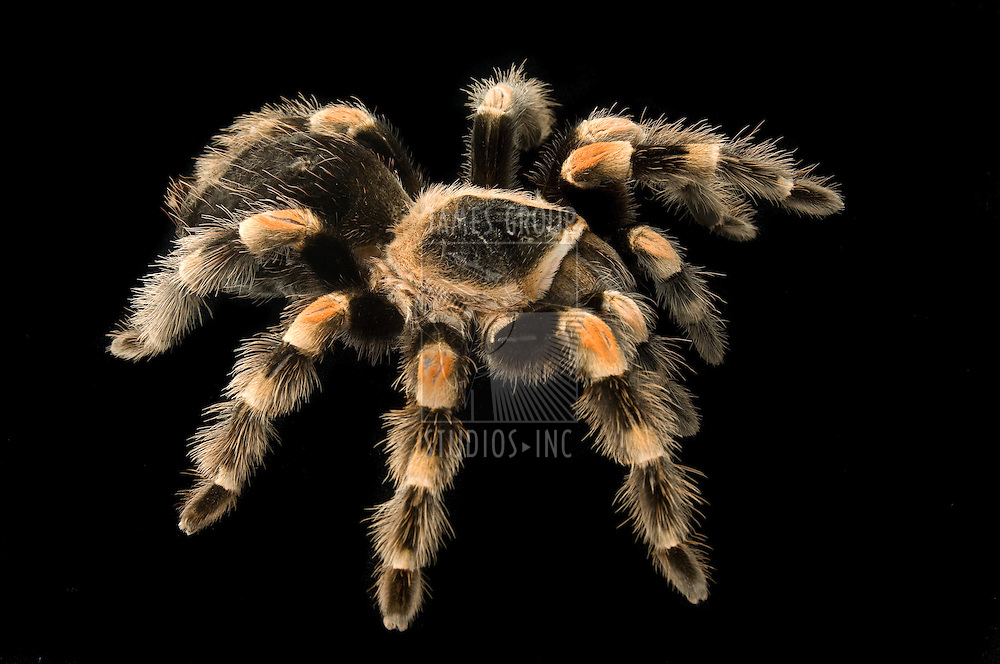 Mexican redknee tarantula on black