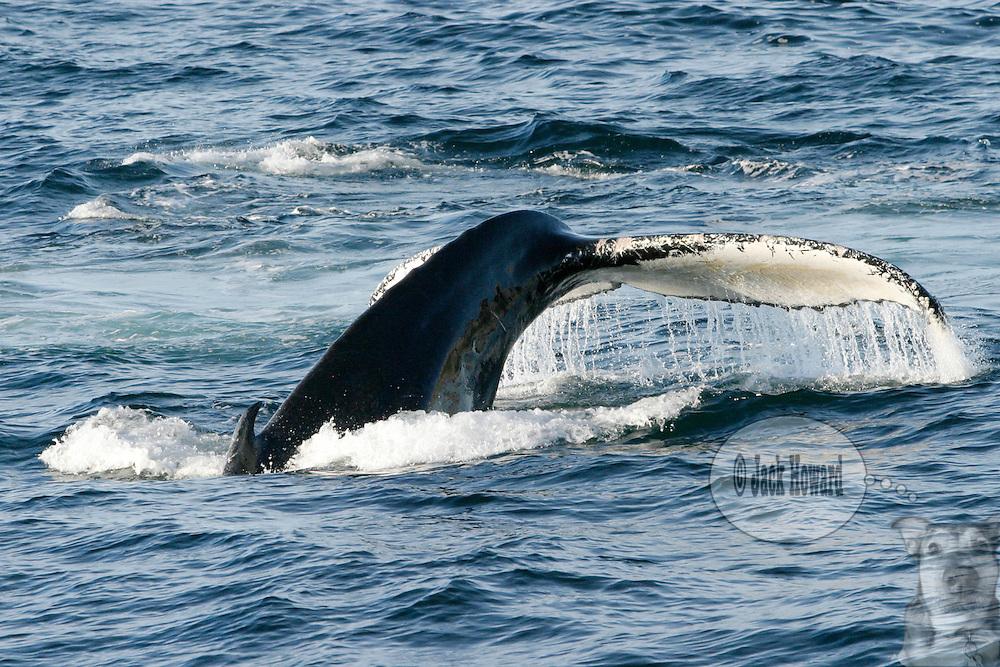 09/02/03 - Stellwagen Banks - Cape Cod , Massachusetts, A humpback whale, breaches its tail fluke.