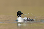 The Great Northern Loon (Gavia immer), is a large member of the loon, or diver, family of birds. The species is known as the Common Loon in North America and the Great Northern Diver in Eurasia.