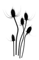 X-ray image of a dried fuller's teasel group (Dipsacus fullonum, black on white) by Jim Wehtje, specialist in x-ray art and design images.