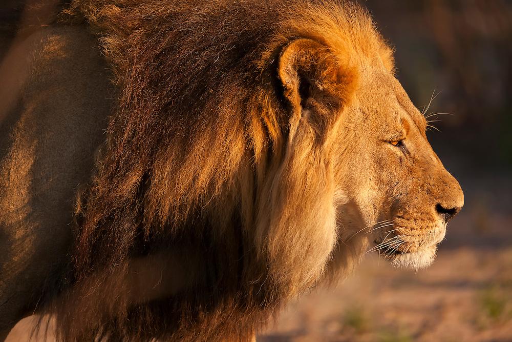 The large male pride lion of the Lekhubu pride, Kalahari, Botswana