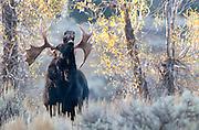 Bull Moose calls during autumn mating season, Grand Tetons National Park, WY