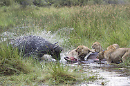 A cape buffalo charging a group of African lion eating a freshly killed buffalo, Duba Plains, Botswana