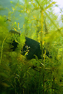 Smallmouth Bass in thick cover<br />