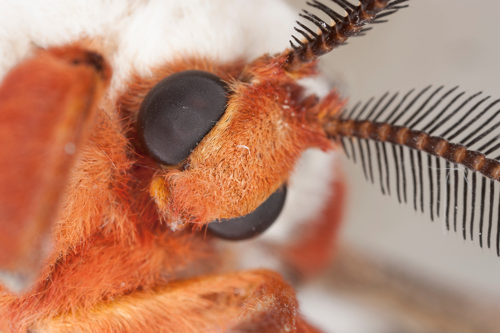 Head of female Cecropia moth (Hyalophora cecropia), showing eyes, antenna and lack of mouth parts