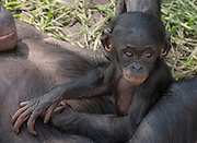 Bonobo chimpanzee with baby playing, Pan paniscus<br /> captived