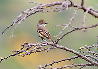 Ash-throated Flycatcher (Myiarchus cinerascens) perched in a tree, San Juan Cosala, Jalisco, Mexico