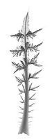 X-ray image of a bull thistle leaf (Cirsium vulgare, black on white) by Jim Wehtje, specialist in x-ray art and design images.