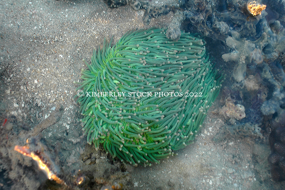 A green anemone on Turtle Reef in Talbot Bay