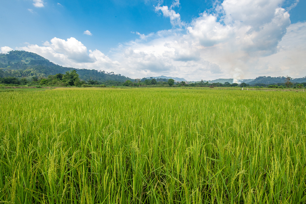 Field of African rice (Oryza glaberrima) with mountains in the distance, Gbedin village, Nimba County, Liberia