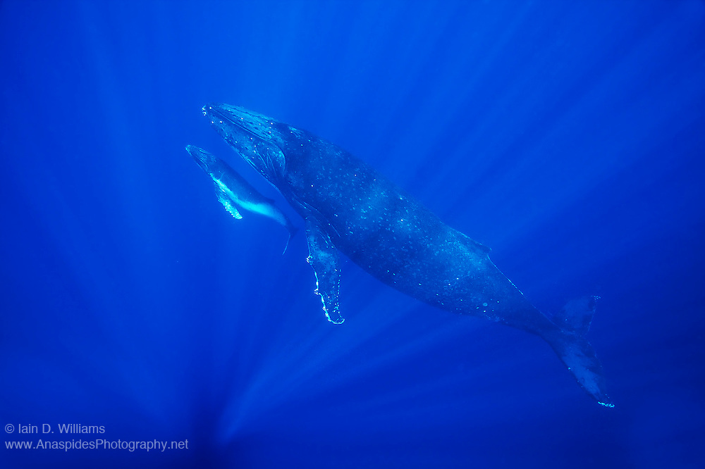 A female humpback whale (Megaptera novaeangliae) pushes her newborn calf towards the surface to breath.  Humpback Whales are paternal and the young calf will stay with his mother for about 12 months before moving off on its own