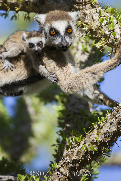 Ring-tailed Lemur<br /> Lemur catta<br /> Mother with two-week-old baby feeding on spiny forest tree (Alluaudia procera)<br /> Berenty Private Reserve, Madagascar