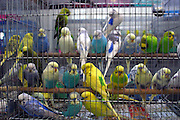 26 sleeping Budgies for sale in a single cage at the weekend market.  Bangkok, Thailand.