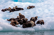 Sea otters gather on an ice floe near Valdez, Alaska.