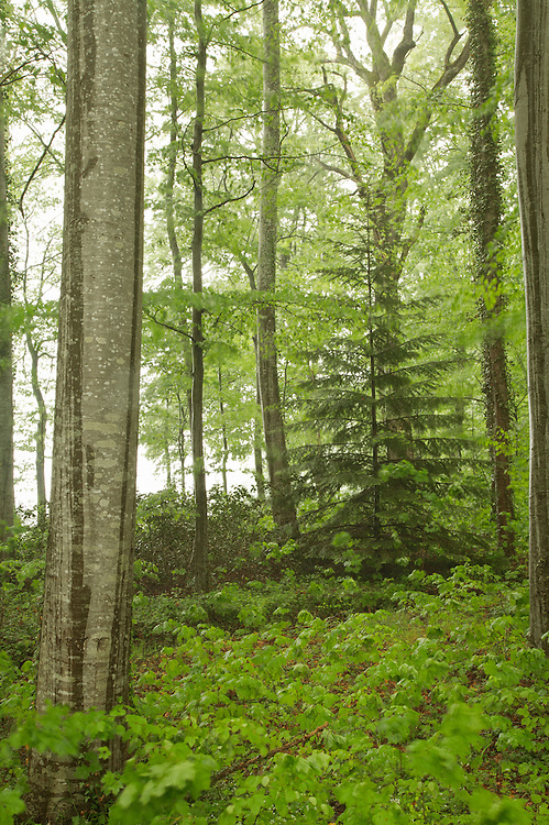 Forest scene with fresh green leaves, St. Dier d'Auvergne, les Martinanches, Auvergne, France