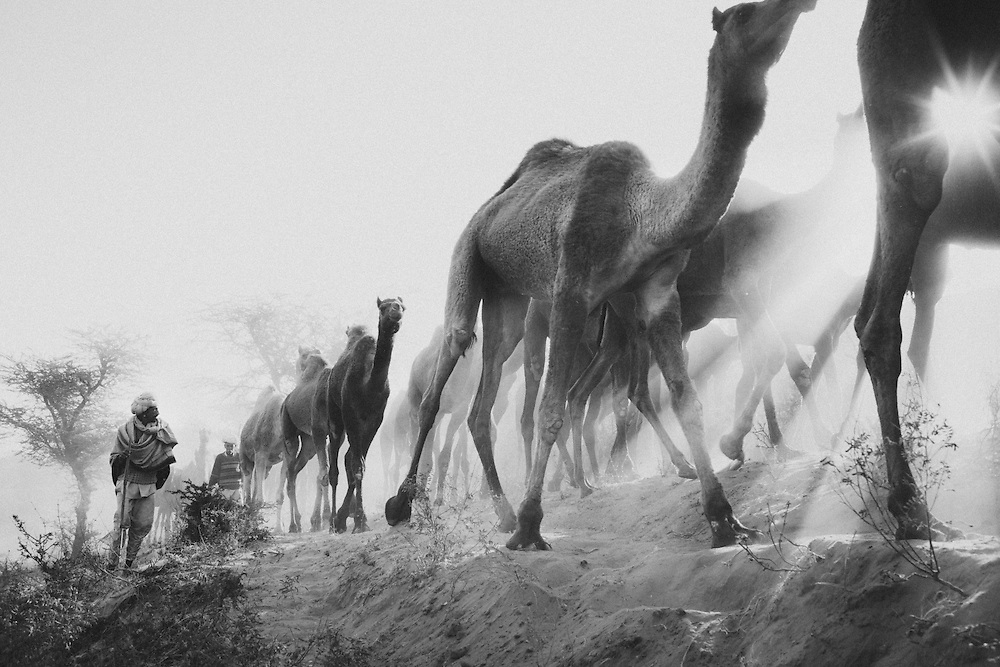 Camel traders herd camels over dunes first thing in the morning. Pushkar, Rajasthan, India.