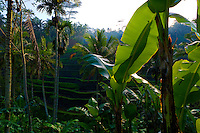 Rice terraces on the outskirts of Ubud. Bali revisited January 2012.