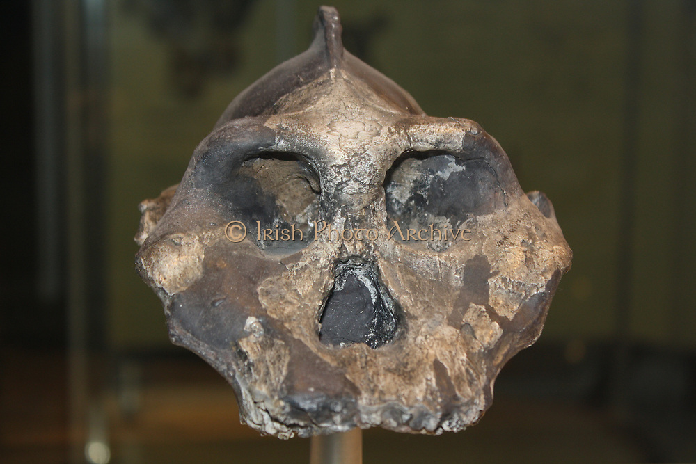 Evolutionary offshoot.  This prominent ridge along the top of the skull of Paranthropus aethiopicus was for anchoring its strong jaw muscles.  A heavy jaw and big teeth probably enabled it to chew tough, woody plants.  Living in Kenya between 2.3-2.7 million years ago, it may have been an ancestor of the robust australopithecines.  These creatures were an evolutionary offshoot that probably died out due to environmental change or competition by the newly evolving human species.