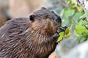 Beaver (castor canadensis) on Jordan Pond, Acadia National Park, Maine