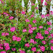 Flowers & Fence, Point Reyes National Seashore