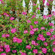 Flowers & Fence, Point Reyes National Seashore