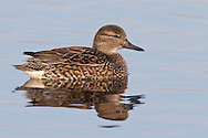 Green-winged Teal - Anas crecca - female