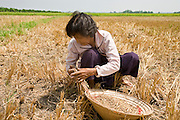 10 MARCH 2006 - TAY NINH, VIETNAM: A woman collects rice in a field in Tay Ninh province, Vietnam. The rice was harvested months ago and the woman came back to go through the field a final time to look for rice she could sell for extra money for her family.  PHOTO BY JACK KURTZ