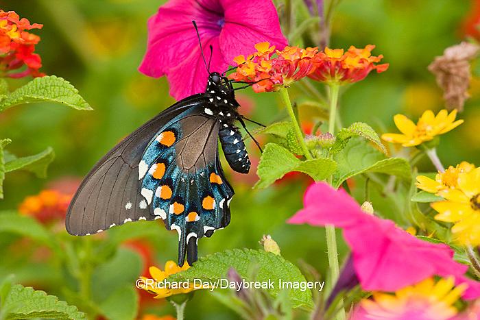 03004-00901 Pipevine Swallowtail (Battus philenor) on Red Spread Lantana (Lantana camara) in butterfly garden, Marion Co.  IL