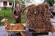 Goat pulling tobacco bales in Minas de Matahambre, Pinar del Rio, Cuba.