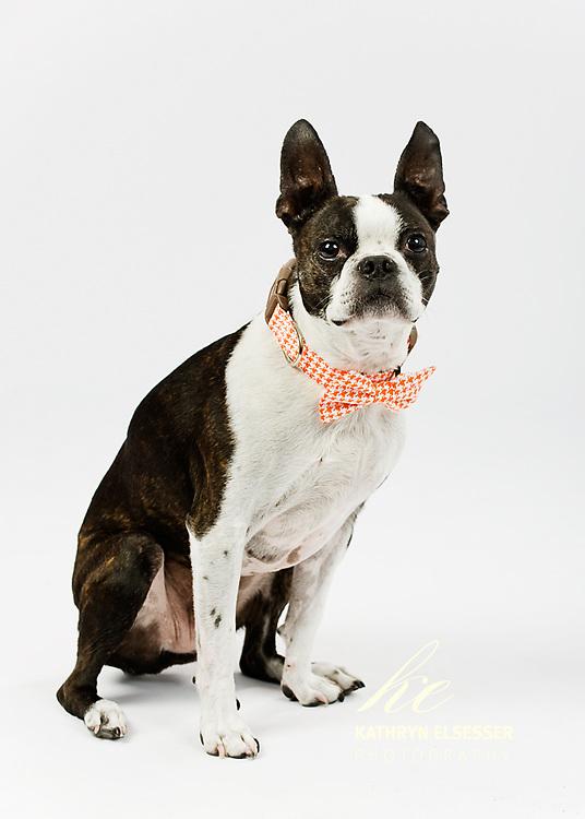 Studio high key portrait of Boston Terrrier wearing an orange checked bow tie