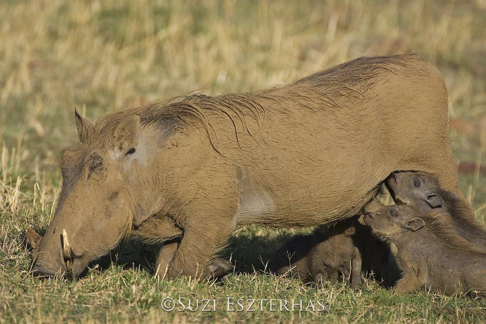 AFRICAN WART HOG <br /> Phacochoerus aethiopicus<br /> young piglets suckling<br /> Masai Mara Reserve, Kenya