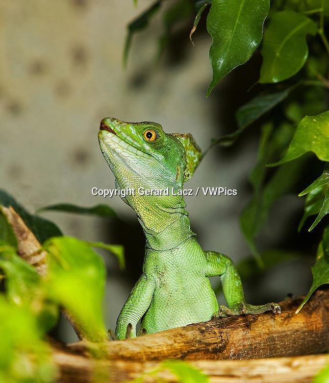 GREEN BASILISK LIZARD OR DOUBLE-CRESTED BASILISK LIZARD basiliscus plumifrons