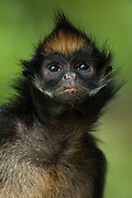 White-bellied Spider Monkey (Ateles belzebuth)<br /> Amazoonico Animal Rescue Center CAPTIVE<br /> Amazon Rain Forest<br /> ECUADOR.  South America<br /> Range: East of Andes from n Colombia and Venezuela, Upper Amazon Basin of Ecuador, Peru, Bolivia and Brazil south of Rios Amazonas and Solimoes.<br /> These are large diurnal monkeys. Arboreal and often in groups of 20-40 individuals.  However during feeding bouts they often split into smaller family groups. They feed on ripe fruit, leaves and dead wood. <br /> CITES 11. Endangered in some of their home ranges due to over hunting.