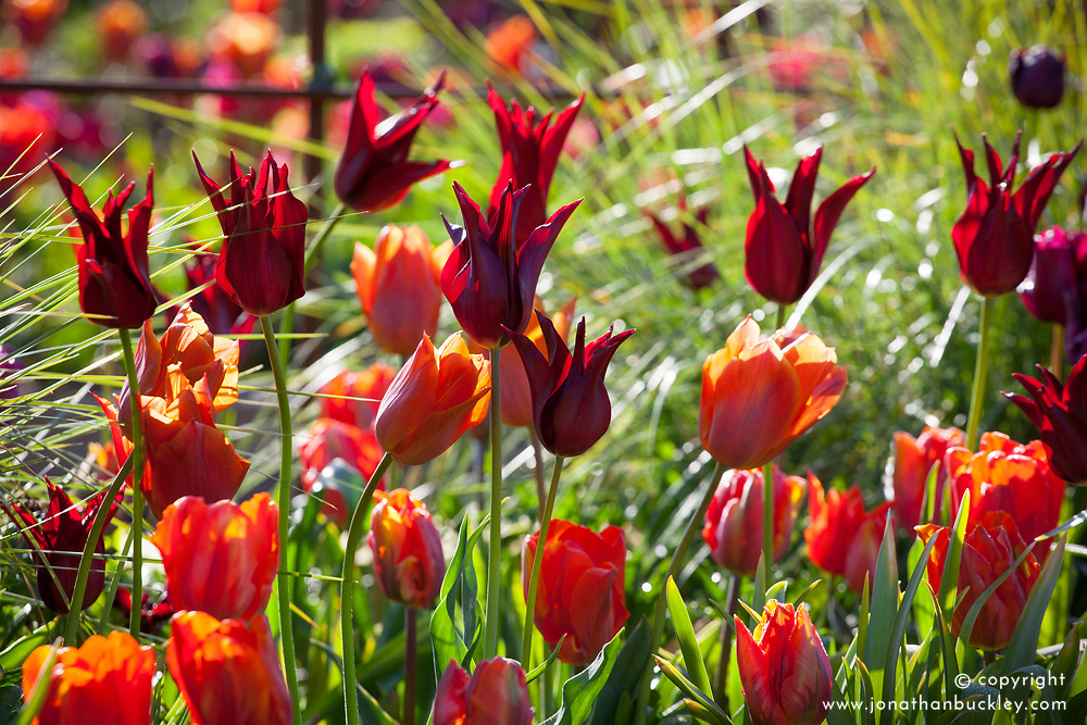 Tulips in the cutting garden. Tulipa 'Ballerina', 'Sarah Raven', 'Arjuna' and 'Request'