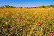Wild licorice on the tall grass prairie<br /> Tolstoi Tall Grass Prairie Preserve<br /> Manitoba<br /> Canada