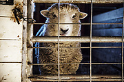 Sheep, Martha's Vineyard, Massachusetts, USA