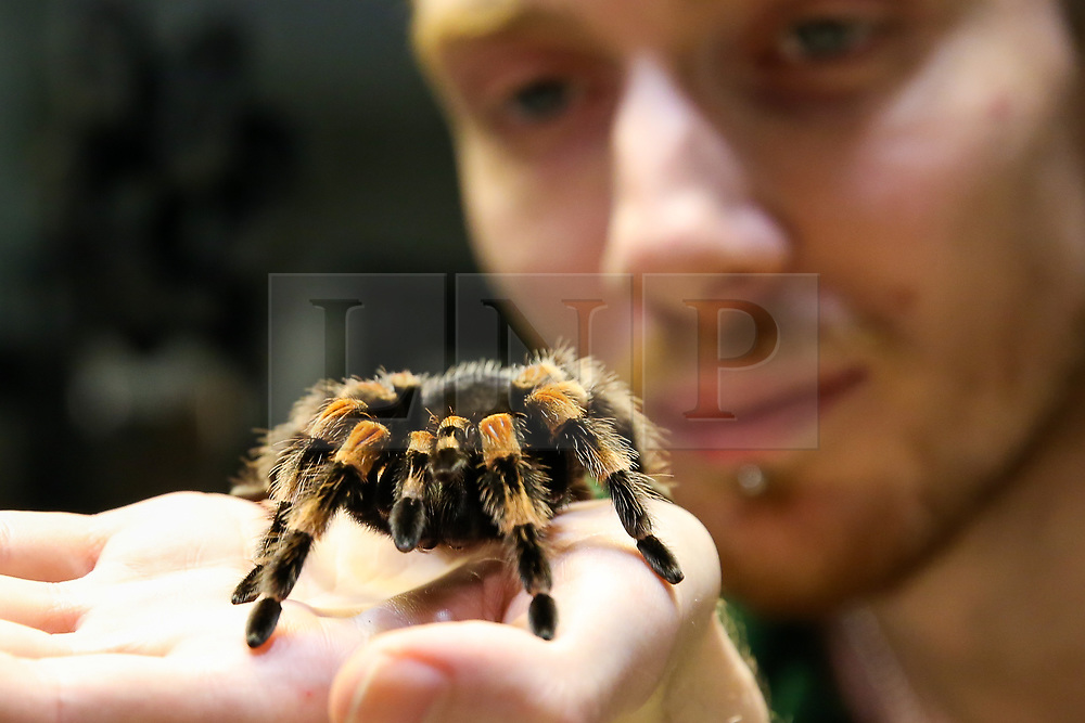 © Licensed to London News Pictures. 02/01/2020. London, UK. A London Zoo keeper holds a Mexican Red-Kneed spider during the annual stocktake at London Zoo. London Zoo undertakes its annual stocktaking which is carried out at the the start of each year. Every animal in London Zoo is weighed and measured and the statistics is shared with other Zoos across the world. Photo credit: Dinendra Haria/LNP