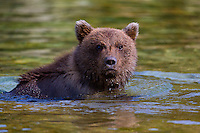 First year coastal brown bear cub in Katmai National Park and Preserve, SW Alaska, summer