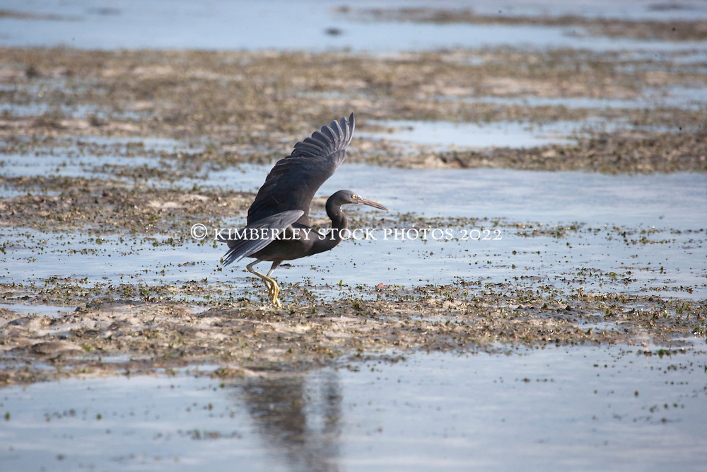 An Eastern Reef Egret (Egreta sacra) (grey morph) at Broome's Town Beach on the shores of Roebuck Bay. The mud flats of the inter-tidal zone are richly productive.