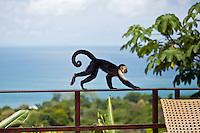Capuchin monkey at Lapa Rios Ecolodge, Osa Peninsula, Costa Rica