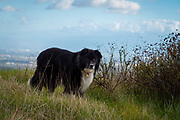 Old black and white border collie mix dog standing in a field with blue skies and clouds in the background.